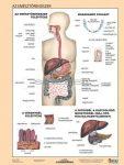 Az emésztőrendszer  FIXI-tanulói munkalap