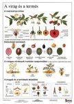 A virág és a termés + munkaoldal FIXI-tanulói munkalap